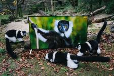 Sony BRAVIA X90C 4K-TVs bereiten Affen auf die Wildnis vor
